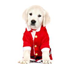 Fotos Neujahr Hunde Weißer hintergrund Retriever Tiere
