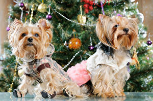 Hintergrundbilder Neujahr Feiertage Hunde Zwei Yorkshire Terrier Uniform