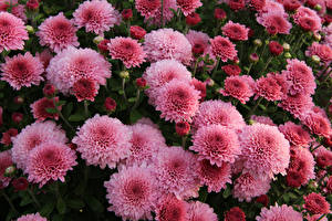 Photo Chrysanths Closeup Pink color Flowers