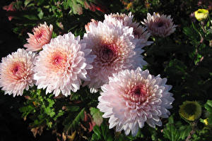 Image Chrysanths Closeup Pink color Flowers