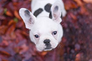 Photo Dogs French Bulldog Staring White Snout Animals