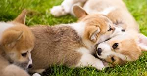 Fotos Hunde Welpen Welsh Corgi