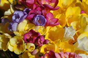 Hintergrundbilder Freesien Großansicht Blüte