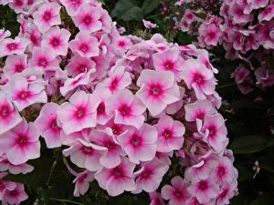 Fotos Phlox Großansicht Rosa Farbe Blüte