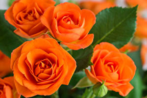 Images Rose Closeup Orange Flowers