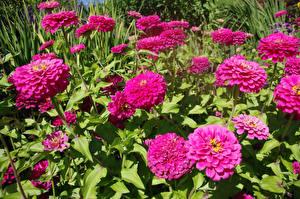 Bilder Zinnien Großansicht Rosa Farbe Blüte