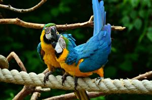 Hintergrundbilder Vogel Papageien Eigentliche Aras Zwei