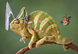Fotos Schmetterlinge Farbigen hintergrund Ast Chamäleons Tiere