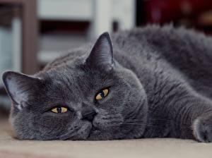 Bilder Katze Britisch Kurzhaar Grau Blick Schnauze ein Tier