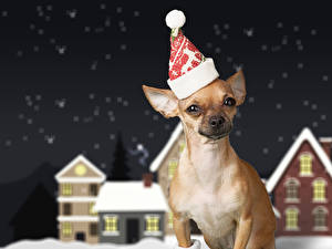 Picture New year Dogs Chihuahua Winter hat