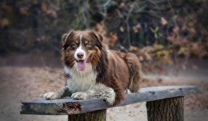 Bilder Hund Australian Shepherd Zunge Bank (Möbel)