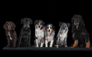 Hintergrundbilder Hunde Schwarzer Hintergrund Spaniel Tiere