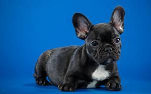 Fotos Hund Französische Bulldogge Welpe Schwarz Farbigen hintergrund
