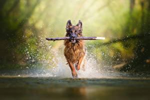 Bilder Hunde Lauf Spritzwasser Shepherd