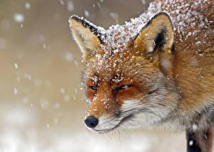 Fotos Füchse Schnee Schnauze ein Tier