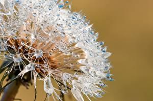 Hintergrundbilder Makro Großansicht Taraxacum Tropfen Blumen