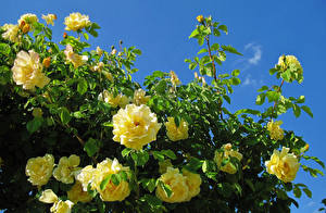 Photo Roses Closeup Yellow Branches Flowers