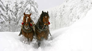 Pictures Winter Horse Snow Two Motion animal