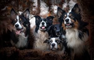 Tapety na pulpit Pies domowy Border collie Wzrok 4 zwierzę
