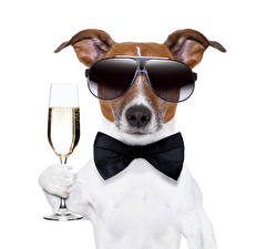Images Dog Champagne White background Jack Russell terrier Glasses Stemware Bow tie Animals