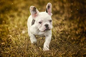 Pictures Dog French Bulldog White Puppy Staring