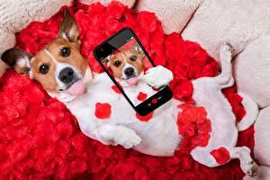 Pictures Dog Jack Russell terrier Selfie Smartphones animal