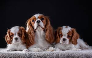 Pictures Dog King Charles Spaniel Three 3 animal