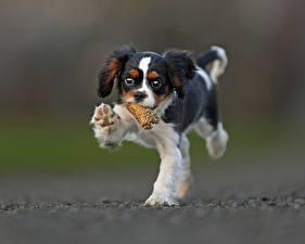 Bilder Hunde Welpen King Charles Spaniel Tiere