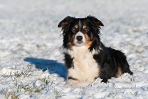 Tapety na pulpit Pies domowy Zima Śnieg Border collie Wzrok Zwierzęta