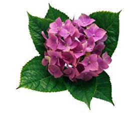 Bilder Hortensie Großansicht Weißer hintergrund Rosa Farbe Blattwerk Blumen