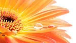Bilder Makro Nahaufnahme Gerbera Orange Tropfen Blumen