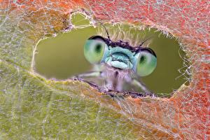 Fotos Libellen Makrofotografie Großansicht Augen Tiere