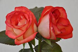 Fondos de escritorio Rosas De cerca Fondo gris Rojo 2 Flores
