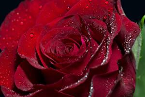 Hintergrundbilder Rose Großansicht Makrofotografie Bordeauxrot Tropfen Blüte