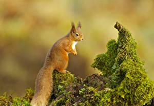 Hintergrundbilder Eichhörnchen Schwanz