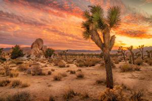 Hintergrundbilder USA Park Sonnenaufgänge und Sonnenuntergänge Kakteen Kalifornien Joshua Tree National Park Natur