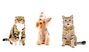 Fotos Katzen Hunde Weißer hintergrund Yorkshire Terrier Drei 3