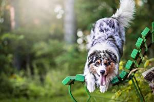 Hintergrundbilder Hunde Australian Shepherd Bank (Möbel)