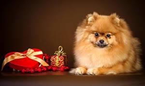 Hintergrundbilder Hunde Feiertage Valentinstag Farbigen hintergrund Spitz Herz Geschenke Tiere