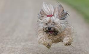 Pictures Dogs Run Jump Flight Havanese Bichon Animals