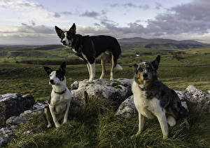 Wallpaper Dogs Three 3 Glance animal