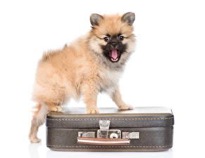 Bilder Hund Weißer hintergrund Koffer Welpe Spitz