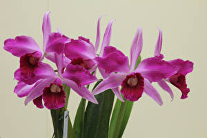 Photo Orchid Closeup Colored background Pink color Flowers