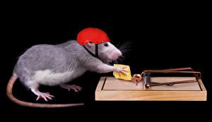Hintergrundbilder Ratten Käse Kreativ Schwarzer Hintergrund Helm Schwanz Tiere