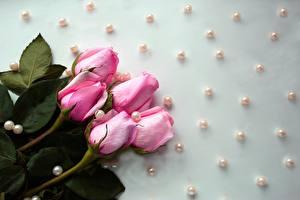Fotos Rosen Perlen Tropfen Rosa Farbe Blüte