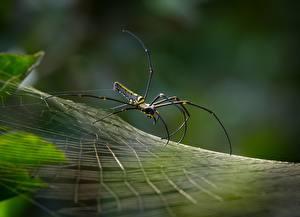 Hintergrundbilder Webspinnen Nahaufnahme Spinnennetz Golden silk orb-weaver ein Tier