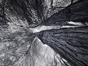 Pictures Trunk tree Black and white Bottom view Branches Trees Nature