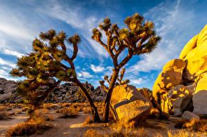 Fotos Vereinigte Staaten Park Kakteen Steine Kalifornien Joshua Tree National Park Natur