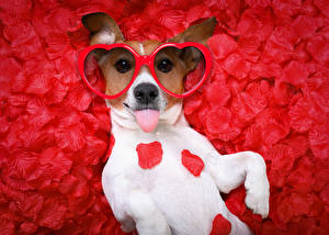 Wallpaper Valentine's Day Dogs Jack Russell terrier Petals Red background Glasses Heart Funny animal
