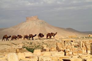 Fotos Wüste Kamele Hügel Natur